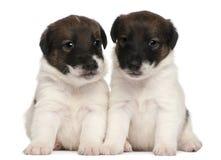 Twee puppy van de Fox-terrier, 1 maand oud, het zitten Royalty-vrije Stock Afbeeldingen