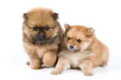 Twee puppy van de spitz-hond in studio stock afbeelding