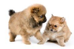 Twee puppy van de spitz-hond in studio stock afbeeldingen