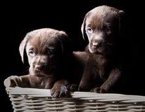Twee Puppy van Labrador van de Chocolade in een Mand stock foto