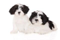 Twee puppy van lhasaapso op wit Stock Foto