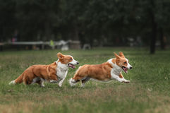 Twee puppy van pembroke het Welse corgi lopen Stock Foto