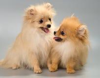 Twee puppy van ras een Pomeranian-spitz-hond in studio royalty-vrije stock afbeelding