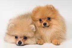 Twee puppy van ras een spitz-hond Pomeranian in studio stock foto