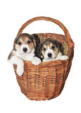 Twee puppy in een mand Stock Afbeeldingen