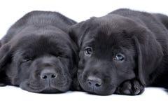 Twee puppy zwart Labrador Stock Afbeeldingen