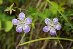 Twee purpere bloemen Royalty-vrije Stock Foto's