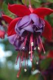 Twee purpere hangende Fuchsiakleurig bloemen Stock Foto's