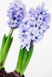 Twee purpere hyacinten Stock Afbeelding