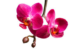 Twee purpere orchideeën met knoppen op kleine tak Stock Afbeeldingen