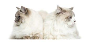 Twee Ragdoll-geïsoleerd liggen, 2 jaar oud, Royalty-vrije Stock Afbeelding