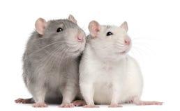 Twee ratten, 12 maanden oud Stock Foto