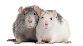 Twee ratten, 12 maanden oud Stock Foto's