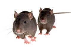 Twee ratten Royalty-vrije Stock Foto's