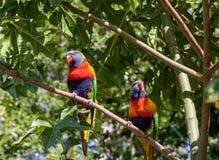 Twee regenboog lorikeet zitting op een tak van een Illawarra-Vlamboom Stock Foto's