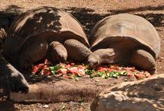 Twee reusachtige schildpadden Stock Afbeeldingen