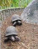 Twee ReuzeSchildpadden van Seychellen Royalty-vrije Stock Afbeeldingen