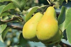 Twee rijpe gele peren die op een boom hangen Royalty-vrije Stock Foto's