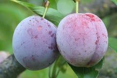Twee rijpe vruchten van een Japanse pruim Stock Afbeelding