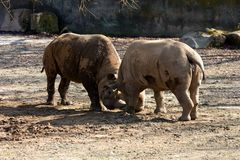 Twee rinocerossen Stock Fotografie