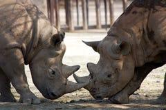 Twee rinocerossen Royalty-vrije Stock Afbeeldingen