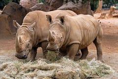 Twee rinocerossen Royalty-vrije Stock Foto's