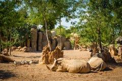 Twee rinocerossen die op het zand in de dierentuin van Valencia op een hete zonnige dag liggen Stock Foto