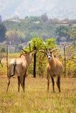 Twee Roan Antelopes Fighting met elkaar, Swasiland Royalty-vrije Stock Foto
