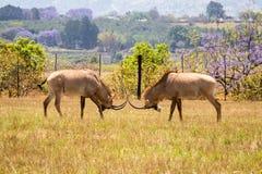 Twee Roan Antelopes Fighting met elkaar, Swasiland stock afbeelding
