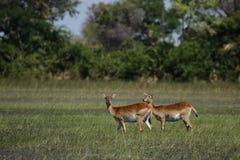 Twee Rode antilopen Lechwe stock foto's