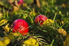 Twee rode appelen op groen gras in tuin Royalty-vrije Stock Foto's