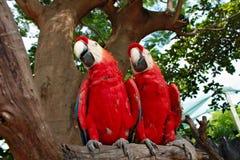 Twee rode blauwe kleurenpapegaaien die in dezelfde richting kijken Stock Foto's