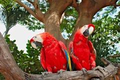 Twee rode blauwe kleurenpapegaaien die op een tak van een boom zitten Stock Afbeeldingen