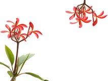 Twee rode bloemen Royalty-vrije Stock Foto