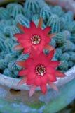 Twee rode bloemen van de pindacactus stock fotografie