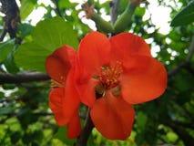 Twee rode chaenomelesbloemen met groene bladeren stock foto's