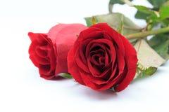 Twee rode die rozen op witte achtergrond worden geïsoleerd Royalty-vrije Stock Afbeeldingen