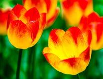 Twee rode en gele tulpenbloemen Stock Fotografie