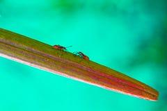 Twee Rode en Zwarte Insecten komen op een Blad samen stock fotografie