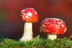 Twee rode giftige paddestoelen royalty-vrije stock foto