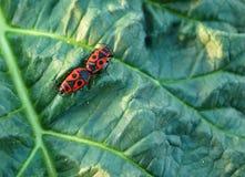 Twee rode insecten Stock Fotografie