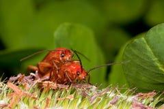 Twee rode insecten die pret hebben Stock Afbeeldingen