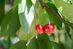 Twee rode kersenbessen die in de boom tussen groen l hangen Stock Afbeeldingen