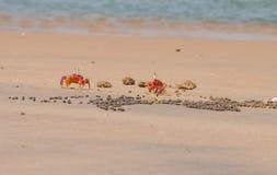 Twee Rode Krabben Royalty-vrije Stock Foto's