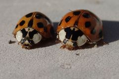 Twee rode onzelieveheersbeestjes Royalty-vrije Stock Afbeelding