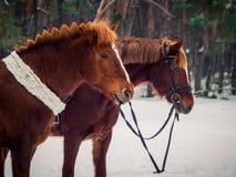 Twee rode paarden royalty-vrije stock afbeelding