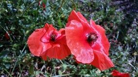 Twee rode papavers in de tuin Royalty-vrije Stock Foto