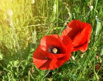 Twee rode papavers die onder groen weidegras tot bloei komen Royalty-vrije Stock Foto