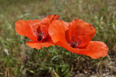 Twee rode papavers groeien op het gebied Royalty-vrije Stock Fotografie
