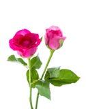 Twee rode rozen Royalty-vrije Stock Afbeeldingen